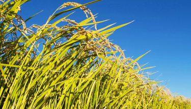 自然派農業・漢方米の田んぼで米づくりに参加!埼玉県加須の田んぼオーナー制度
