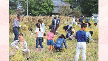 【久喜市】手作り「漢方農法米こしひかり」収穫 -老若男女が稲刈り体験